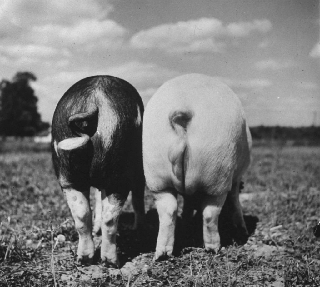 Less-Lard hog vs. Lard hog, 1954, Life Magazine